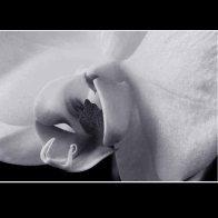 Orchid_3161aMc
