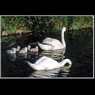 Swans_2635grc